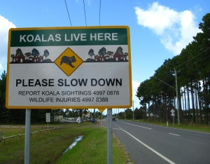 Koalas live here
