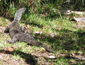 Goanna on ground