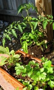 Coriander, sage & tomato
