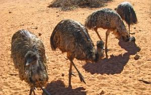 Emus in NT