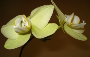 Double orchid 2a